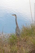 Great blue heron at edge of pond