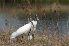 Pair of wood storks