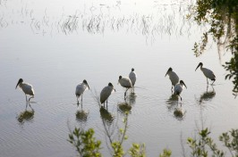 Wood storks fishing